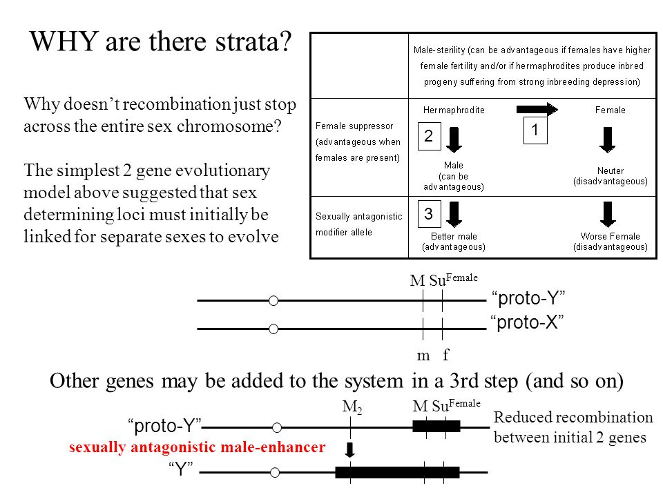 Reduced recombination between initial 2 genes M Su Female m f proto-X proto-Y M Su Female M2M2 proto-Y Y Why doesn't recombination just stop across the entire sex chromosome.