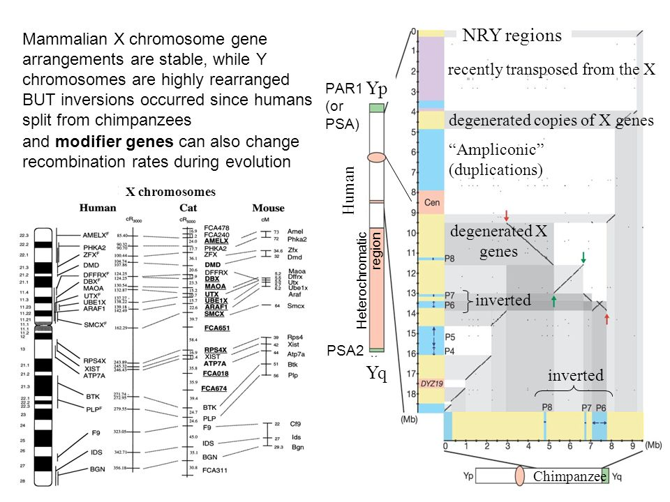 Mammalian X chromosome gene arrangements are stable, while Y chromosomes are highly rearranged BUT inversions occurred since humans split from chimpanzees and modifier genes can also change recombination rates during evolution X chromosomes Yp Yq recently transposed from the X PAR1 (or PSA) Ampliconic (duplications) degenerated X genes Heterochromatic region degenerated copies of X genes inverted Human Chimpanzee NRY regions PSA2