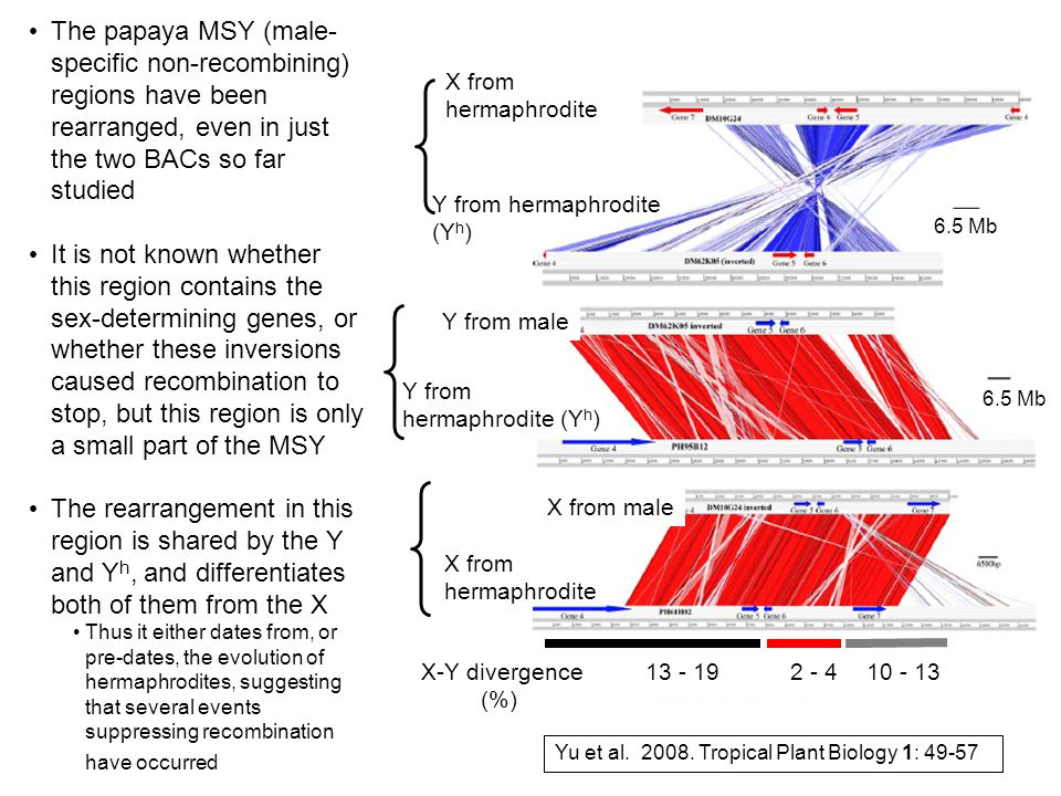 The papaya MSY (male- specific non-recombining) regions have been rearranged, even in just the two BACs so far studied It is not known whether this region contains the sex-determining genes, or whether these inversions caused recombination to stop, but this region is only a small part of the MSY The rearrangement in this region is shared by the Y and Y h, and differentiates both of them from the X Thus it either dates from, or pre-dates, the evolution of hermaphrodites, suggesting that several events suppressing recombination have occurred X from hermaphrodite X from male Y from hermaphrodite (Y h ) Y from male Y from hermaphrodite (Y h ) X from hermaphrodite 6.5 Mb X-Y divergence (%) Yu et al.