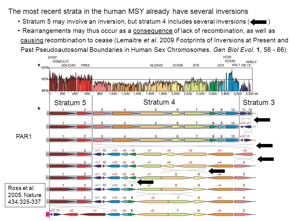 The most recent strata in the human MSY already have several inversions Stratum 5 may involve an inversion, but stratum 4 includes several inversions ( ) Rearrangements may thus occur as a consequence of lack of recombination, as well as causing recombination to cease (Lemaitre et al.