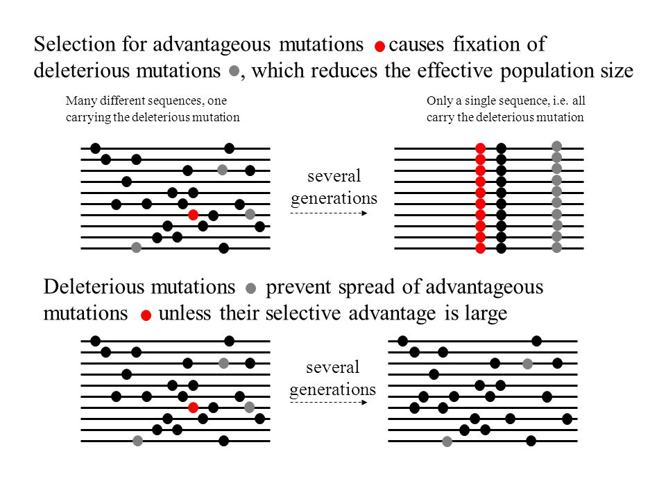 Selection for advantageous mutations causes fixation of deleterious mutations, which reduces the effective population size Many different sequences, oneOnly a single sequence, i.e.