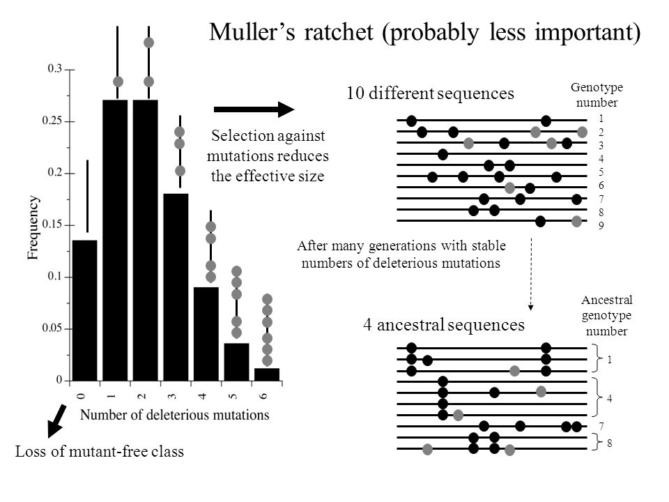 4 1 8 7 123456789123456789 After many generations with stable numbers of deleterious mutations Ancestral genotype number Genotype number 10 different sequences 4 ancestral sequences Loss of mutant-free class Selection against mutations reduces the effective size Muller's ratchet (probably less important)