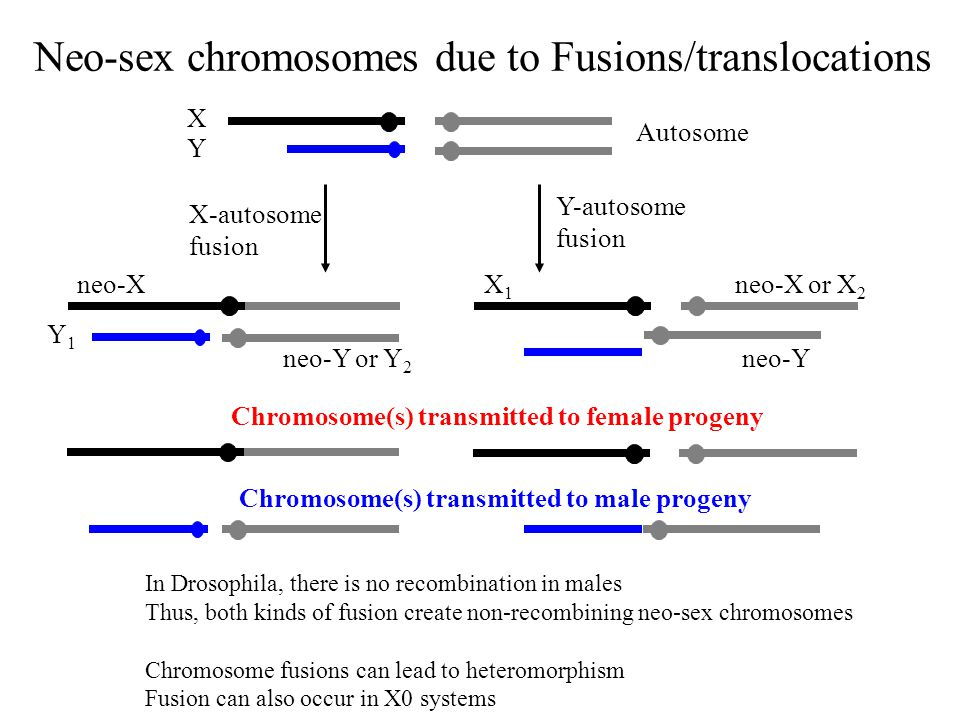 Autosome X Y neo-X Y1Y1 neo-Y or Y 2 neo-Y neo-X or X 2 X1X1 Y-autosome fusion X-autosome fusion Chromosome(s) transmitted to female progeny In Drosophila, there is no recombination in males Thus, both kinds of fusion create non-recombining neo-sex chromosomes Chromosome fusions can lead to heteromorphism Fusion can also occur in X0 systems Chromosome(s) transmitted to male progeny Neo-sex chromosomes due to Fusions/translocations
