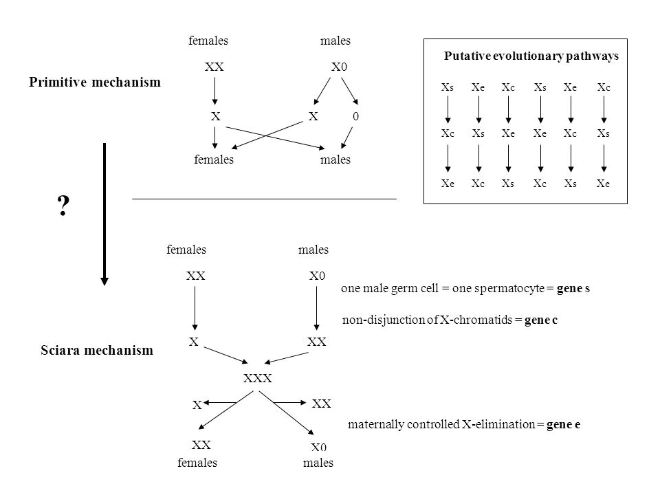 Primitive mechanism femalesmales XXX0 femalesmales femalesmales XXX0 XXX XXX X XX X0 femalesmales Sciara mechanism .