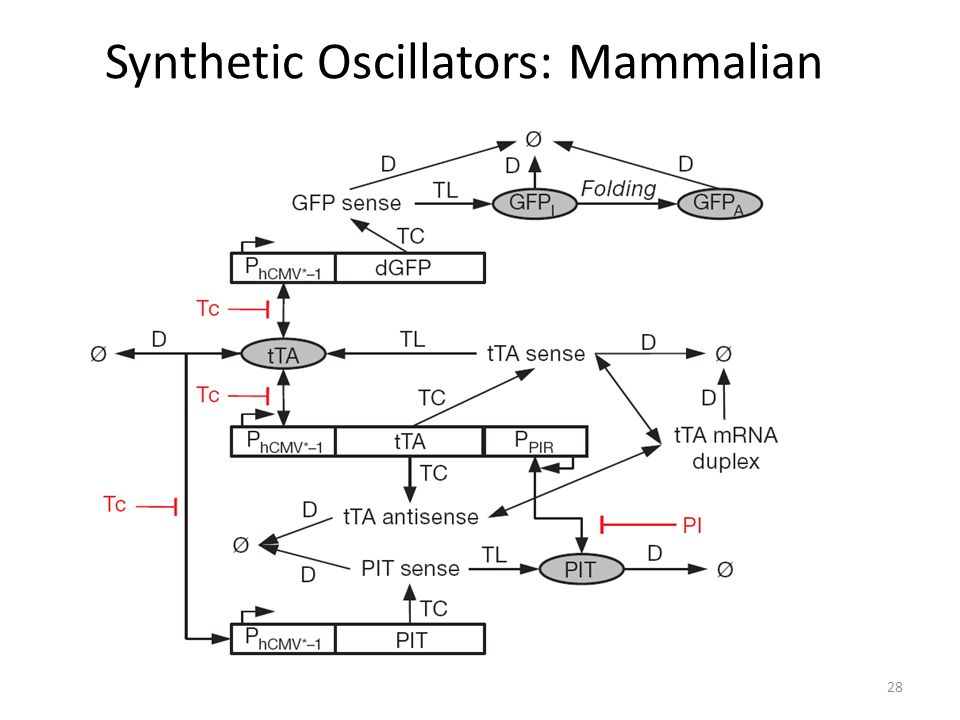 Synthetic Oscillators: Mammalian 28