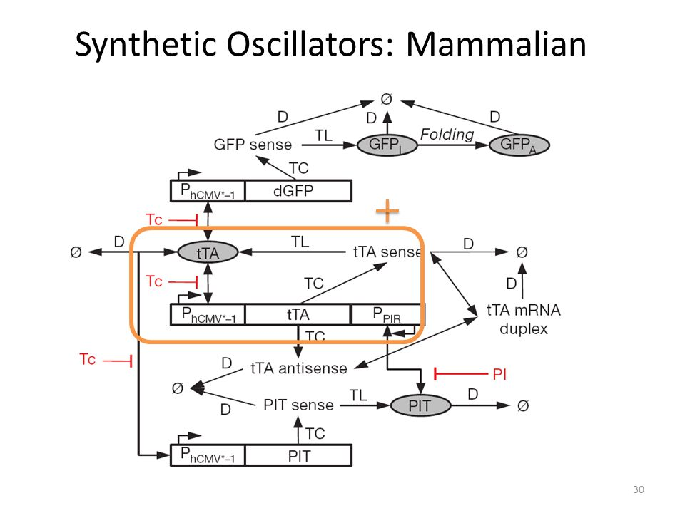 Synthetic Oscillators: Mammalian 30