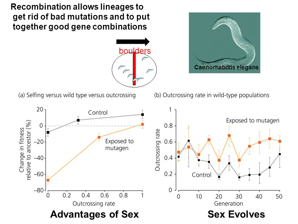 Caenorhabdtis elegans Recombination allows lineages to get rid of bad mutations and to put together good gene combinations Advantages of Sex Sex Evolves boulders