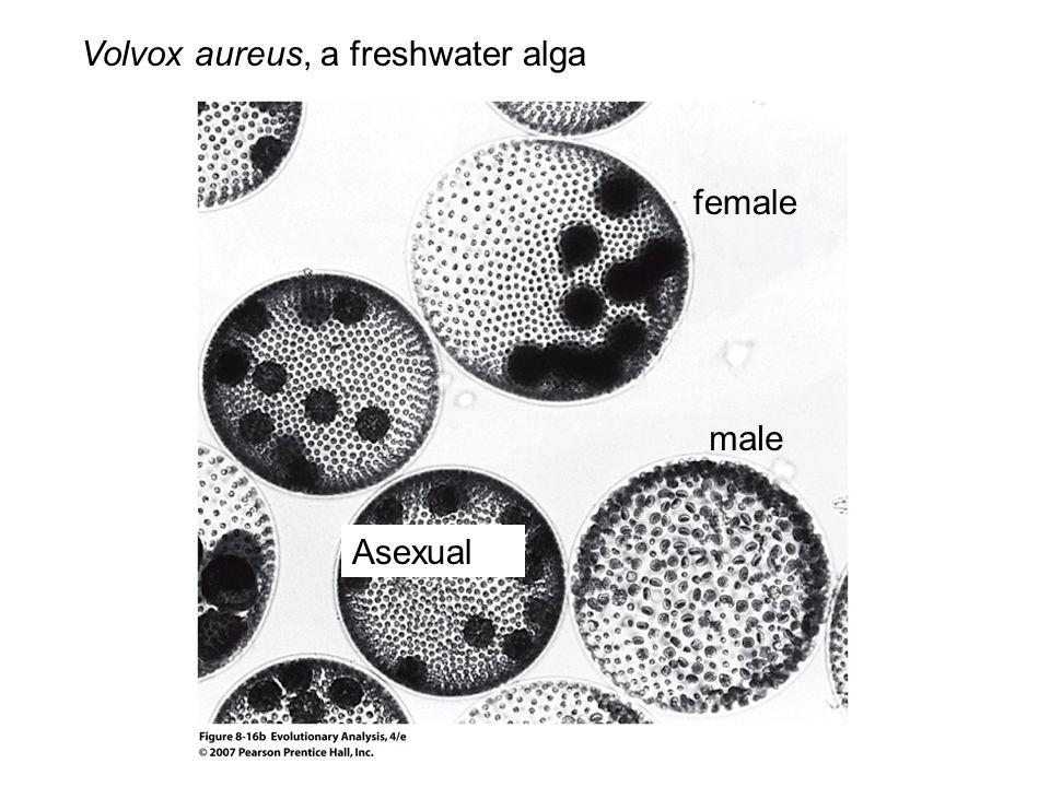 Volvox aureus, a freshwater alga male Asexual female