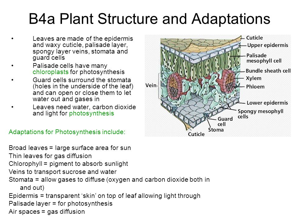B4a Plant Structure and Adaptations Leaves are made of the epidermis and waxy cuticle, palisade layer, spongy layer veins, stomata and guard cells Palisade cells have many chloroplasts for photosynthesis Guard cells surround the stomata (holes in the underside of the leaf) and can open or close them to let water out and gases in Leaves need water, carbon dioxide and light for photosynthesis Adaptations for Photosynthesis include: Broad leaves = large surface area for sun Thin leaves for gas diffusion Chlorophyll = pigment to absorb sunlight Veins to transport sucrose and water Stomata = allow gases to diffuse (oxygen and carbon dioxide both in and out) Epidermis = transparent 'skin' on top of leaf allowing light through Palisade layer = for photosynthesis Air spaces = gas diffusion