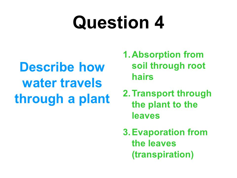 Question 4 Describe how water travels through a plant 1.Absorption from soil through root hairs 2.Transport through the plant to the leaves 3.Evaporat