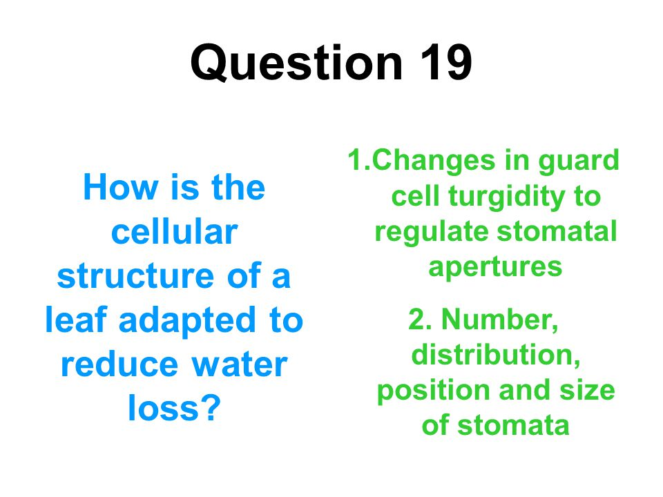Question 19 How is the cellular structure of a leaf adapted to reduce water loss? 1.Changes in guard cell turgidity to regulate stomatal apertures 2.