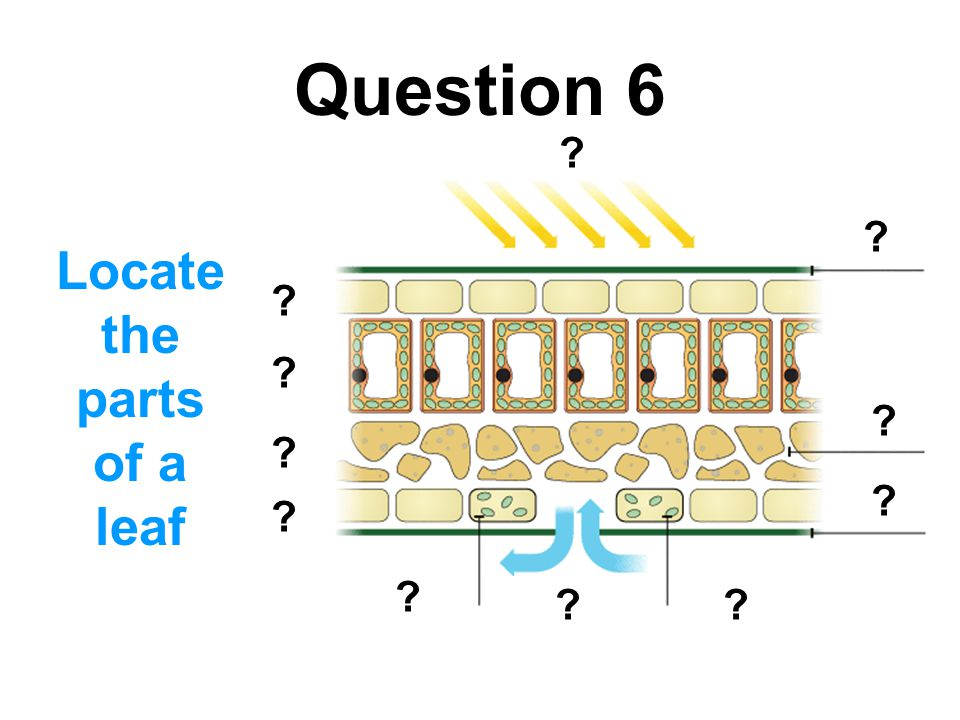 Question 12 How is a leaf adapted to reduce excessive water loss.