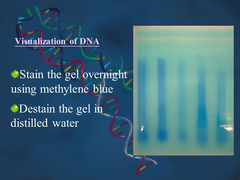 Visualization of DNA Stain the gel overnight using methylene blue Destain the gel in distilled water