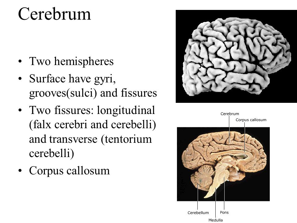 Cerebrum Two hemispheres Surface have gyri, grooves(sulci) and fissures Two fissures: longitudinal (falx cerebri and cerebelli) and transverse (tentor