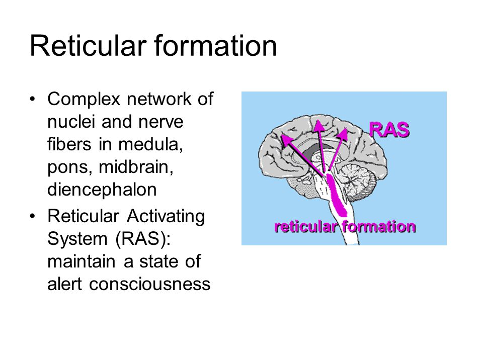 Reticular formation Complex network of nuclei and nerve fibers in medula, pons, midbrain, diencephalon Reticular Activating System (RAS): maintain a s