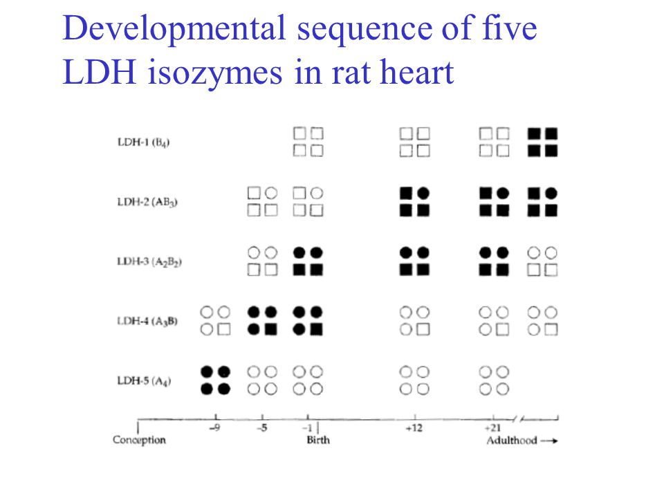 Developmental sequence of five LDH isozymes in rat heart