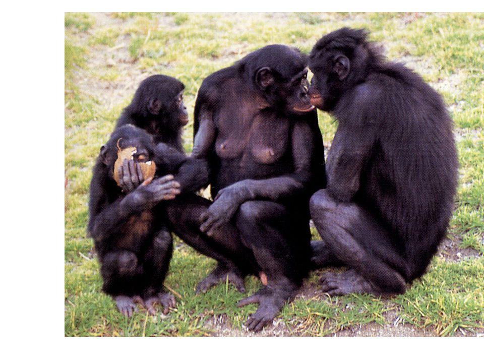 Pygmy chimp or bonobo