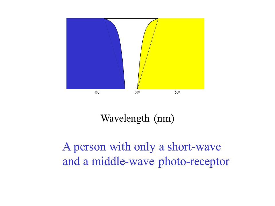 400500600 Wavelength (nm) A person with only a short-wave and a middle-wave photo-receptor