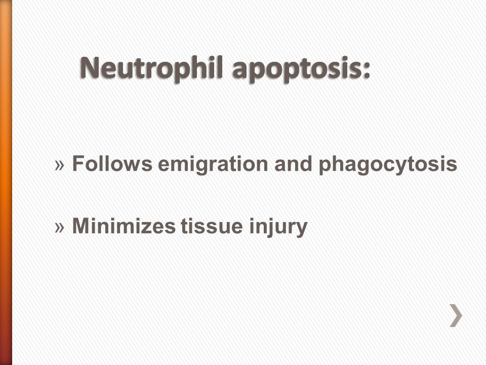 »Follows emigration and phagocytosis »Minimizes tissue injury