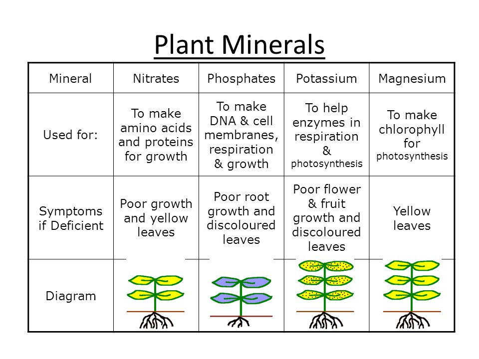 Plant Minerals MineralNitratesPhosphatesPotassiumMagnesium Used for: To make amino acids and proteins for growth To make DNA & cell membranes, respira