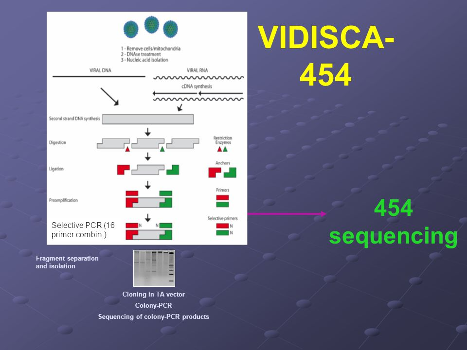 VIDISCA- 454 sequencing Fragment separation and isolation Cloning in TA vector Colony-PCR Sequencing of colony-PCR products Selective PCR (16 primer c