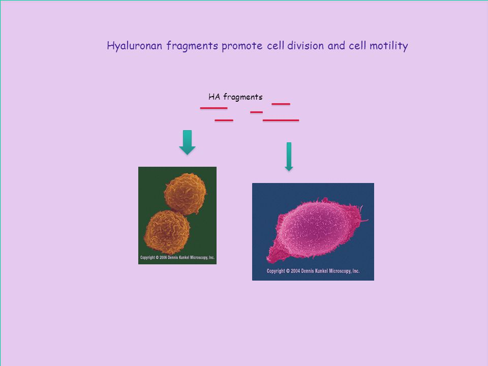 Hyaluronan fragments promote cell division and cell motility HA fragments