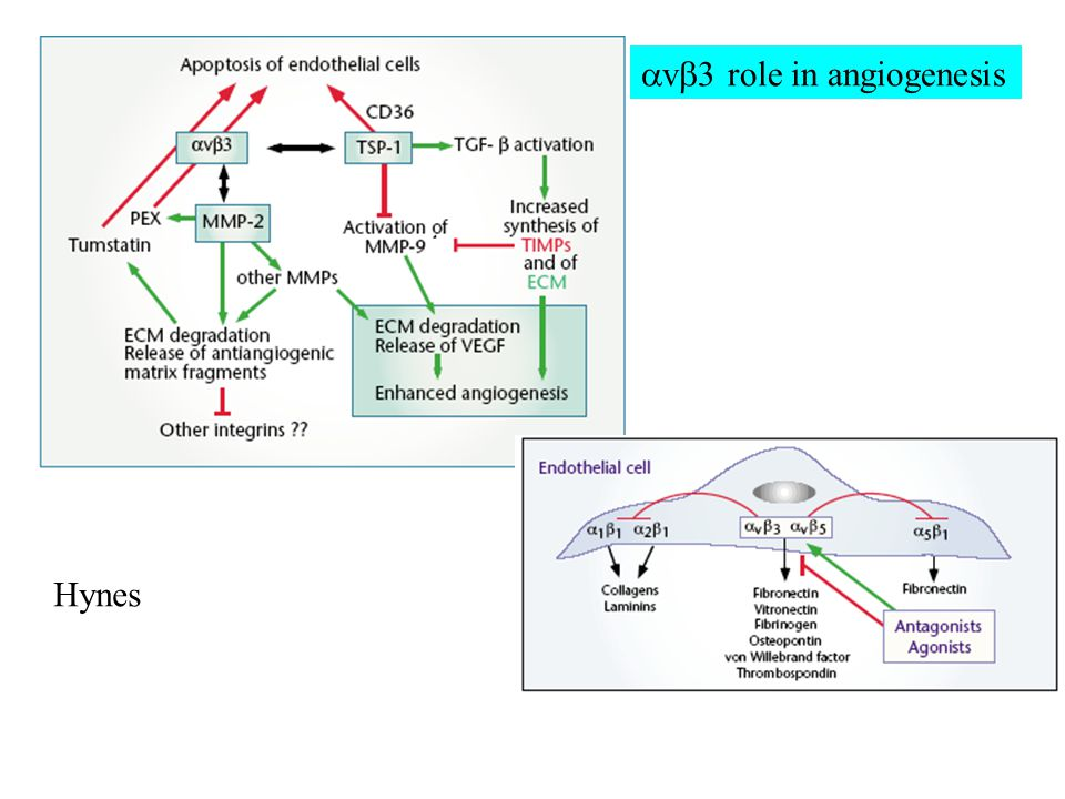  v  3 role in angiogenesis Hynes