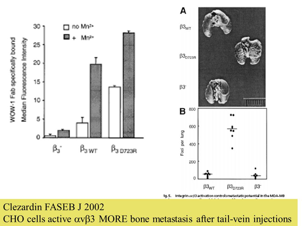 Clezardin FASEB J 2002 CHO cells active  v  3 MORE bone metastasis after tail-vein injections