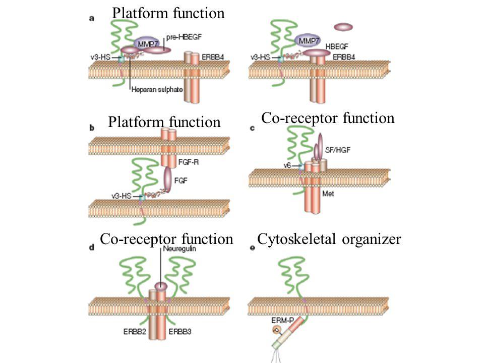 Platform function Co-receptor function Cytoskeletal organizer