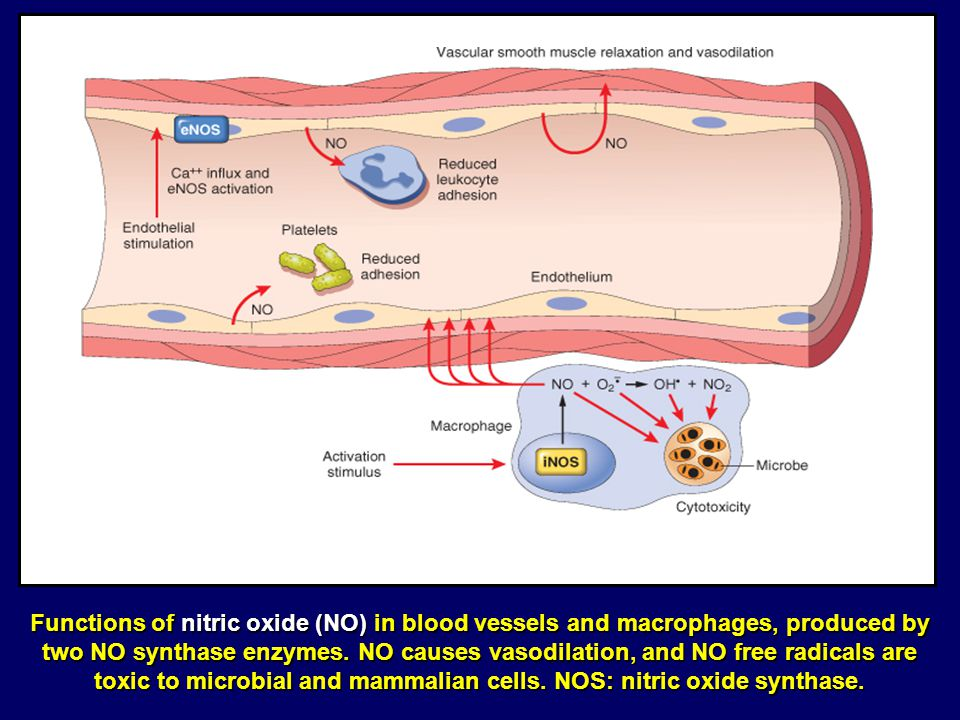 Functions of nitric oxide (NO) in blood vessels and macrophages, produced by two NO synthase enzymes. NO causes vasodilation, and NO free radicals are