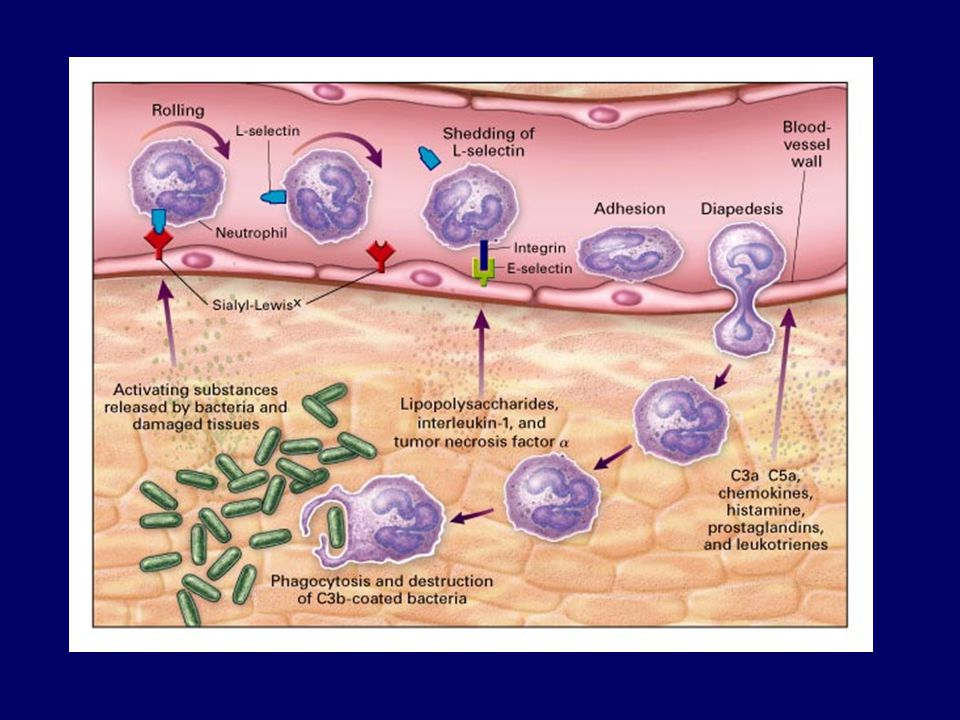 Leukocyte activation.