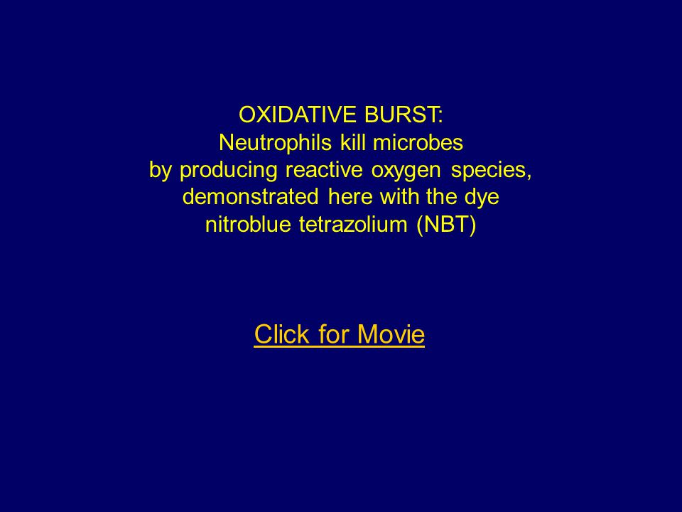 OXIDATIVE BURST: Neutrophils kill microbes by producing reactive oxygen species, demonstrated here with the dye nitroblue tetrazolium (NBT) Click for