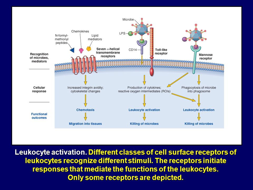 Click for Movie NECROSIS: A white blood cell dies after a meal Ingesting leukotoxic Streptococcus pyogenes