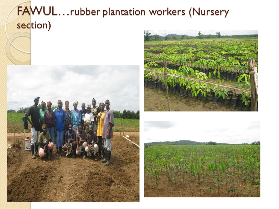 FAWUL… rubber plantation workers (Nursery section)