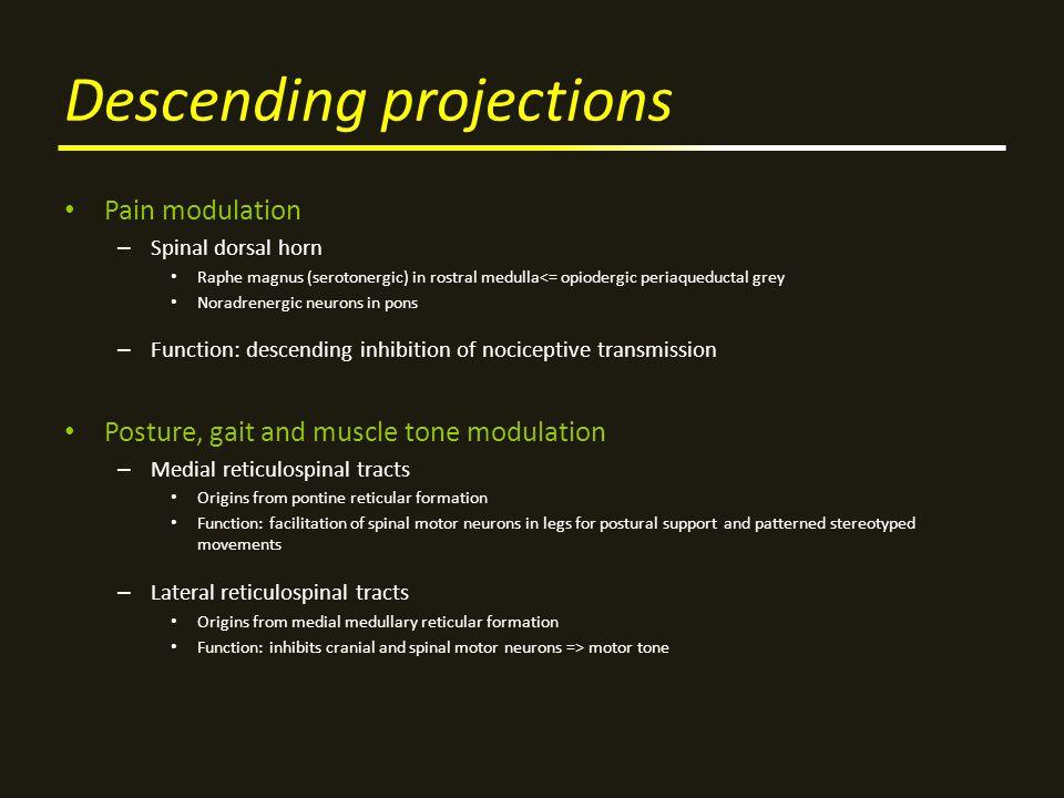 Descending projections Pain modulation – Spinal dorsal horn Raphe magnus (serotonergic) in rostral medulla<= opiodergic periaqueductal grey Noradrener