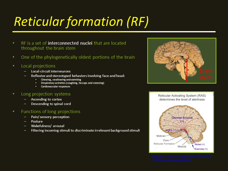 Reticular formation (RF) RF is a set of interconnected nuclei that are located throughout the brain stem One of the phylogenetically oldest portions of the brain Local projections – Local-circuit interneurons – Reflexive and stereotyped behaviors involving face and head: Chewing, swallowing and vomiting Respiratory activities (coughing, hiccups and sneezing) Cardiovascular responses Long projection systems – Ascending to cortex – Descending to spinal cord Functions of long projections – Pain/ sensory perception – Posture – Wakefulness/ arousal – Filtering incoming stimuli to discriminate irrelevant background stimuli http://www.colorado.edu/intphys/Class/IPH Y3730/image/figure5-29.jpg Brain stem