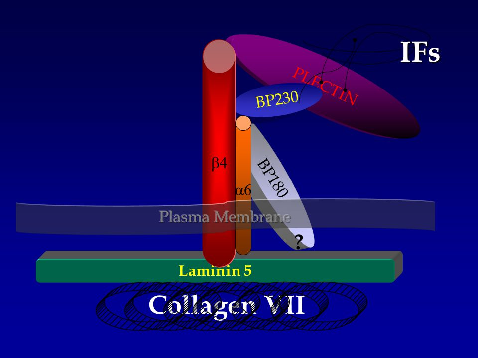 Laminin 5 BP180 PLECTIN BP230   Collagen VII IFs