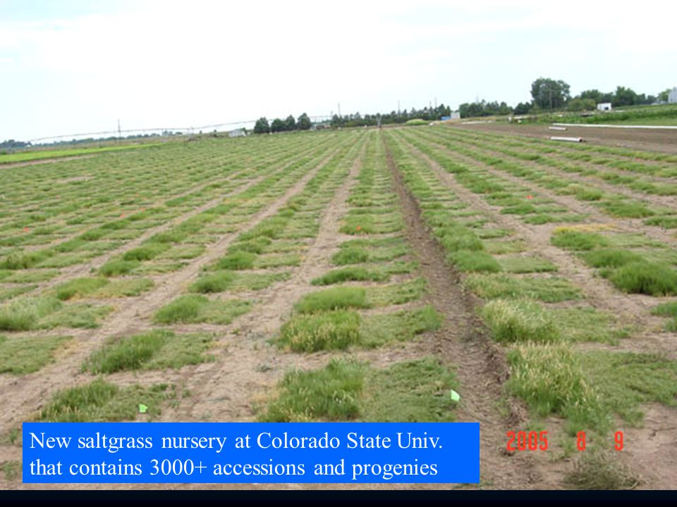 New saltgrass nursery at Colorado State Univ. that contains accessions and progenies