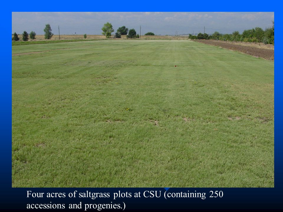 Four acres of saltgrass plots at CSU (containing 250 accessions and progenies.)