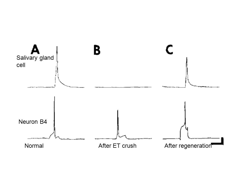 Axonal Regeneration Neuron B5 is not prohibited from crossing the buccal commissure, But within the ET B5 axons make The proper choices.