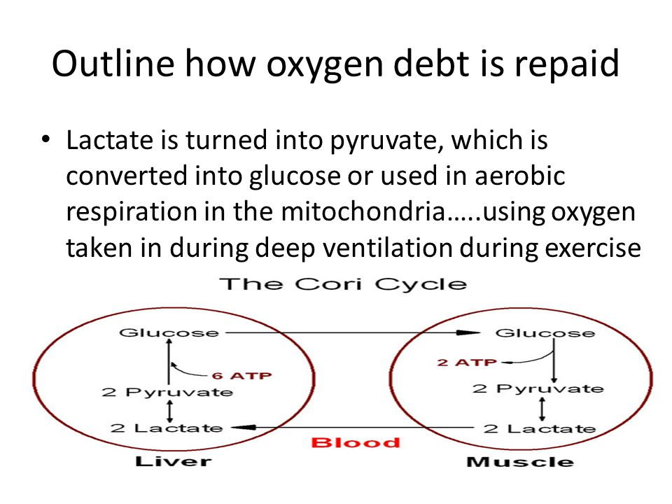 Outline how oxygen debt is repaid Lactate is turned into pyruvate, which is converted into glucose or used in aerobic respiration in the mitochondria…