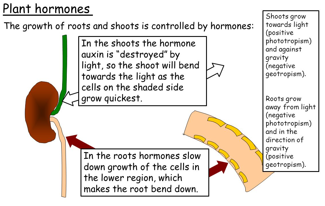 Plant hormones The growth of roots and shoots is controlled by hormones: In the roots hormones slow down growth of the cells in the lower region, whic