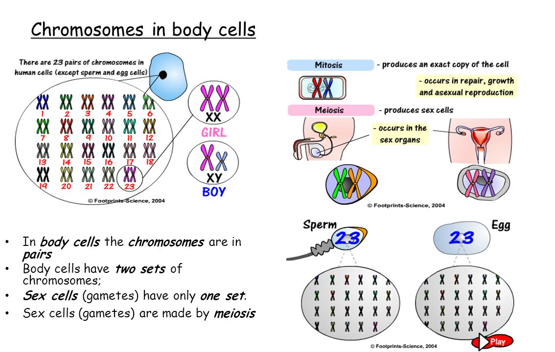 Chromosomes in body cells In body cells the chromosomes are in pairs Body cells have two sets of chromosomes; Sex cells (gametes) have only one set. S