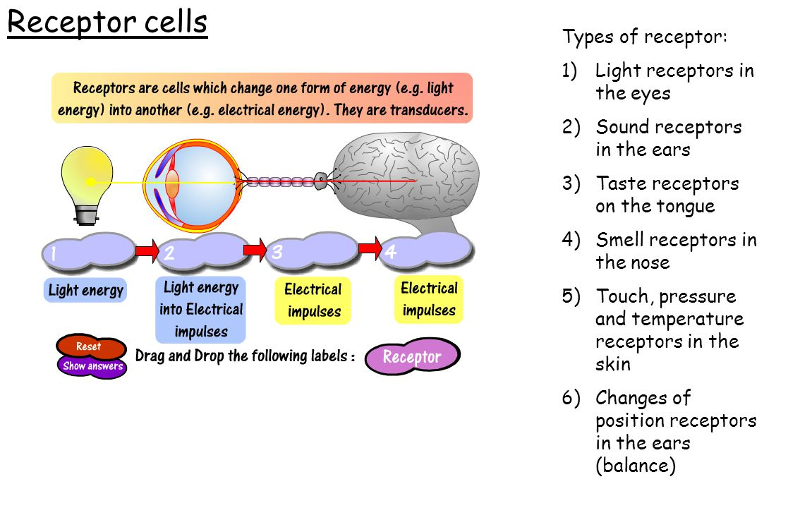 Receptor cells Types of receptor: 1)Light receptors in the eyes 2)Sound receptors in the ears 3)Taste receptors on the tongue 4)Smell receptors in the