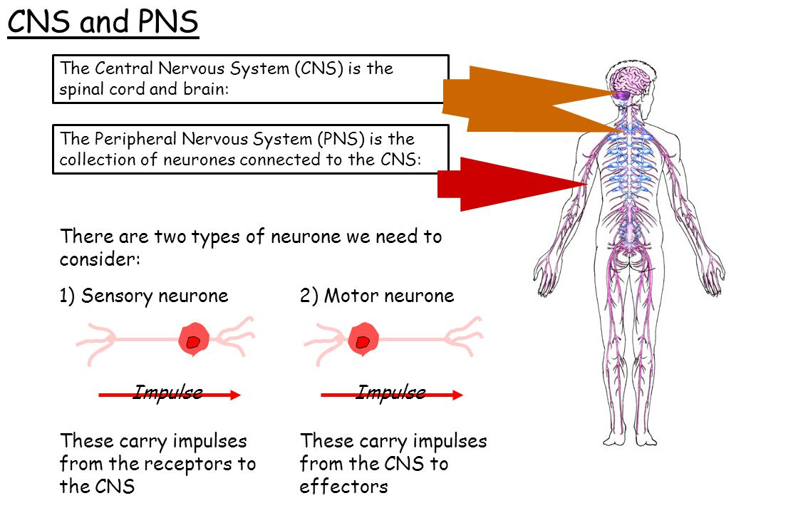 CNS and PNS There are two types of neurone we need to consider: The Central Nervous System (CNS) is the spinal cord and brain: The Peripheral Nervous
