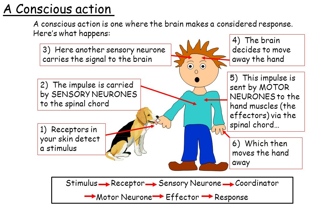 A conscious action is one where the brain makes a considered response. Here's what happens: Stimulus Receptor Sensory Neurone Coordinator Motor Neuron