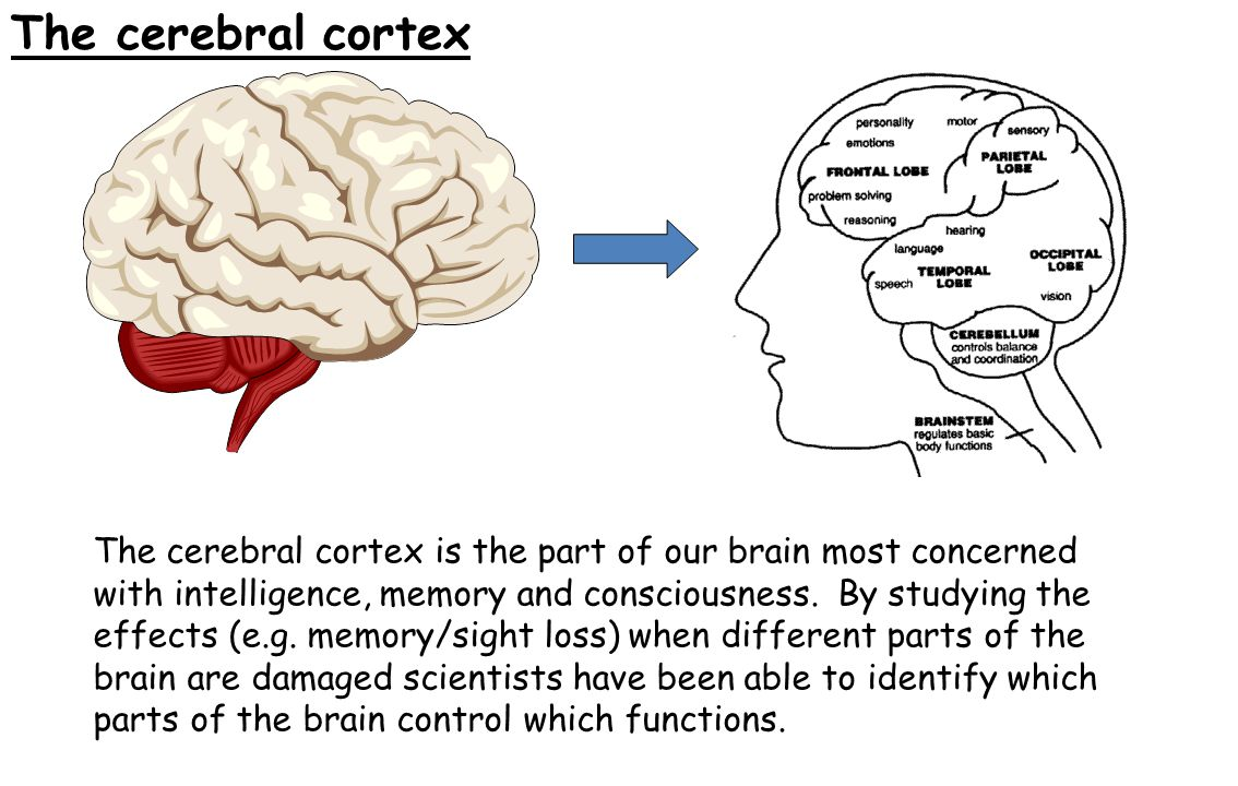 The cerebral cortex The cerebral cortex is the part of our brain most concerned with intelligence, memory and consciousness. By studying the effects (