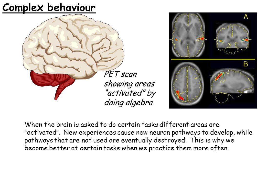"Complex behaviour When the brain is asked to do certain tasks different areas are ""activated"". New experiences cause new neuron pathways to develop, w"