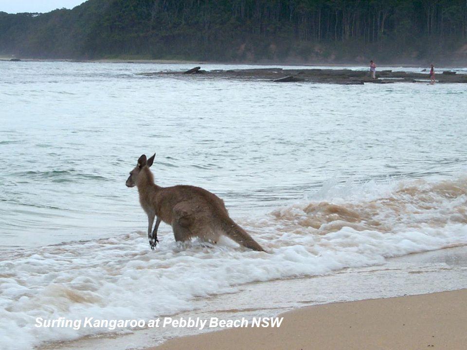 Eastern Grey Kangaroo surfing Pebbly Beach South Coast NSW Surfing Kangaroo at Pebbly Beach NSW