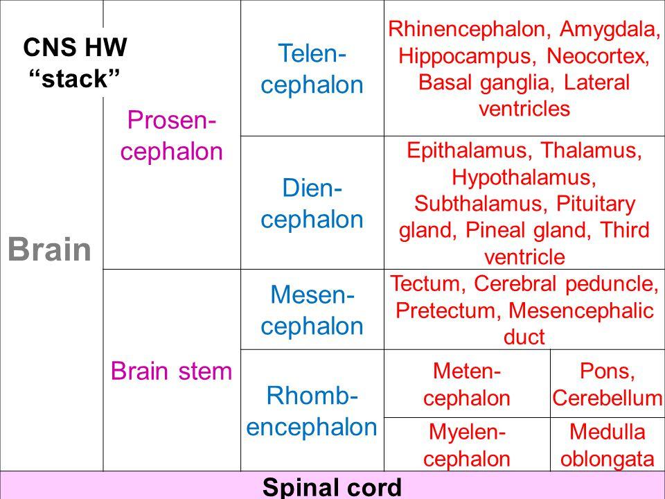 Prosen- cephalon Telen- cephalon Rhinencephalon, Amygdala, Hippocampus, Neocortex, Basal ganglia, Lateral ventricles Dien- cephalon Epithalamus, Thalamus, Hypothalamus, Subthalamus, Pituitary gland, Pineal gland, Third ventricle Brain stem Mesen- cephalon Tectum, Cerebral peduncle, Pretectum, Mesencephalic duct Rhomb- encephalon Meten- cephalon Pons, Cerebellum Myelen- cephalon Medulla oblongata Spinal cord CNS HW stack Brain